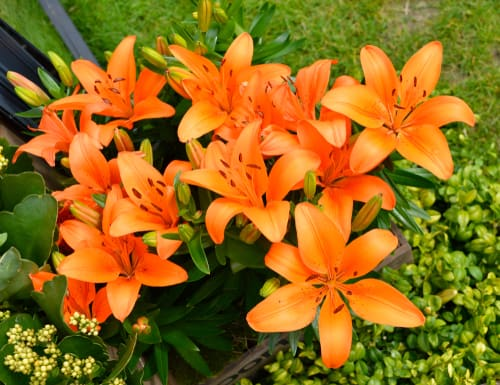 the best lily varieties for pots. The pixie series offers very small cultivars that get no more than 50cm in height. Other short growing options include the Asiatic hybrids that reach about 60cm in height. Of course, you can pick slightly larger options as long as you, again, give it a support system to help it stand upright, this could just be some canes and strong but as the stems are usually very strong on even taller varieties, they only need minimal support.