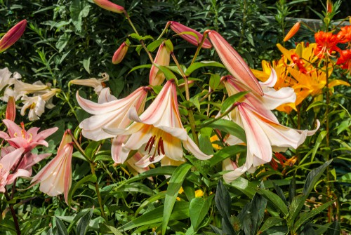 Growing lilies. Plant lily bulbs in full sun in well-drained soil.