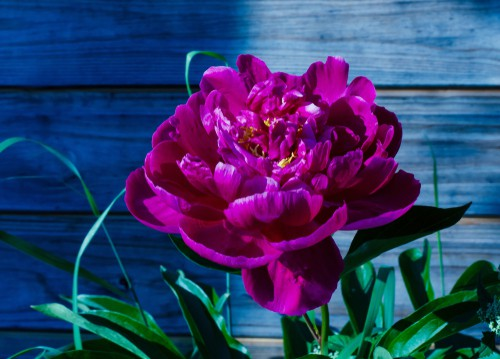 Peony care - water during the growing season freely and keep soil moist, protect plants in winter by placing in a greenhouse of sheltered area