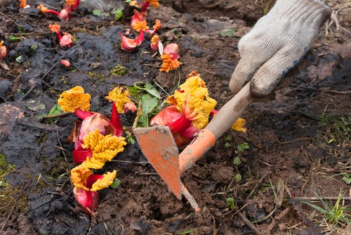 rhubarb care. feed in spring and mulch in autumn. Water regularly when warm