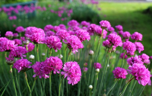 Armeria are known for their hardy, sea pink colours, delightful pink flowers come spring and summer, all nestled nicely atop a cushion of evergreen. What's particularly nice about these is that you deadhead to encourage additional flowers throughout the entire flowering phase and they are super easy to look after.