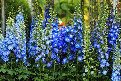 Caring for delphiniums in pots