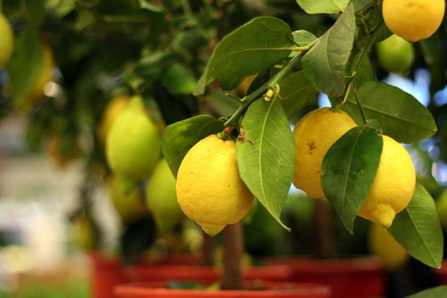 Citrus lemon tree growing in container