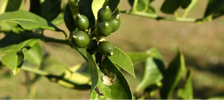 Citrus tree problems – What to look out for and how to help prevent problems when growing citrus trees