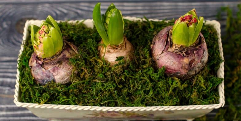 Forcing hyacinth bulbs – When and how to force hyacinth bulbs so they flower earlier