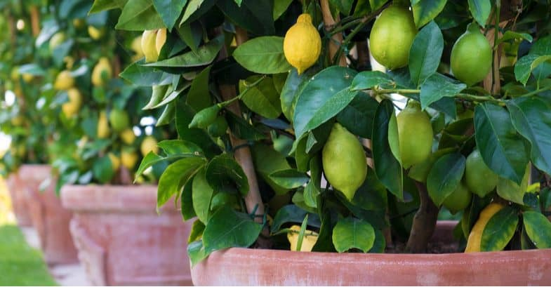 Growing citrus in pots and containers