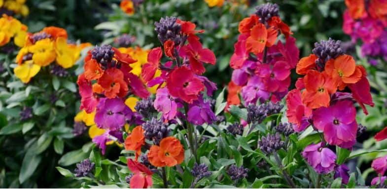 Growing wallflowers from seed – the beginner's guide