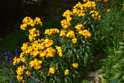 Plant young wallflowers outside