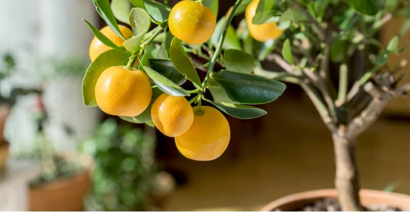 Citrus trees are very popular to grow outdoors in summer and then brought indoors over winter. They need a bright sunny position and are best grown in pots.