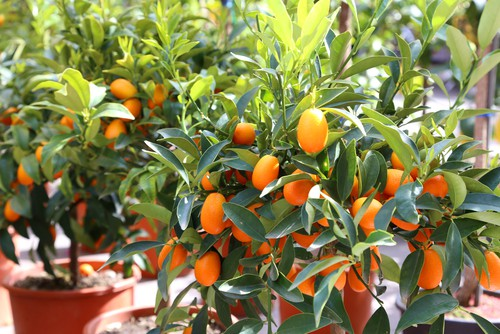 Kumquat citrus tree - hardest of all citrus trees