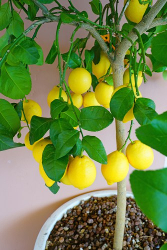 Lemon tree growing in container indoors