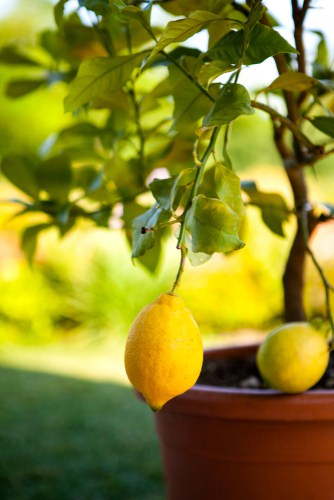 Citrus lemon tree being grown in container
