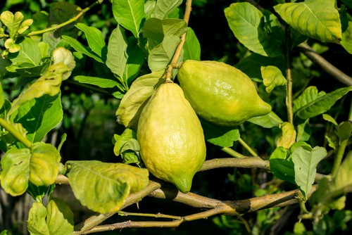 Most citrus tree problems are usually caused by the growing conditions be less than suitable. learn about common problems from yellowing leaves to nutrient deficiencies.