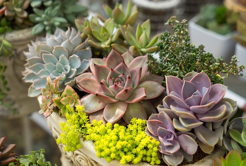 Overwinter hardy succulents grown in containers outdoors