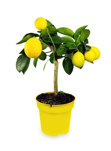 Planting pot grown lemon tree