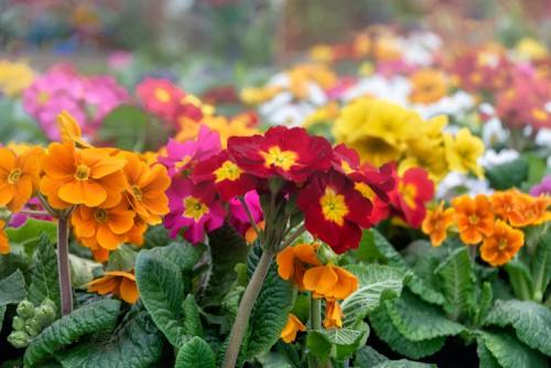 Polyanthus have a single stem on top of which are multiple flowers. You can enjoy winter and springtime flowers, some of which are scented.