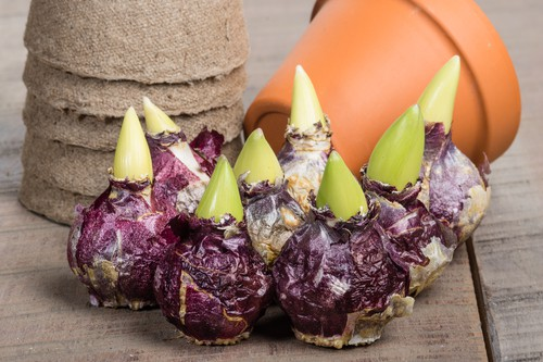 Prepared hyacinth bulbs ready to plant so they flower at Christmas