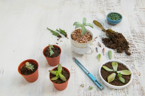 Repotting succulent cutting into new pots