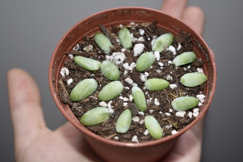 Succulent cutting planted in compost