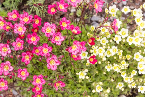 For a more slow-growing option, Saxifraga brings with it star-shaped flowers that are pink, nestled above a rich, red stem. The foliage underneath is a bright evergreen and forms a nice round compact mound. You can propagate these easily too if you enjoy your first batch; just remove a rosette of foliage and put it in another pot. At full maturity, they reach about 12cm tall but will spread 5-6 times this.