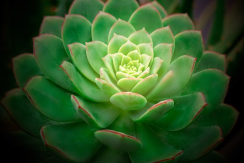 Another great option for beginners is the Echeveria species or hybrids which are very slow growing so they won't take over a given space to quickly and they won't need transplantation immediately. They are also very easy to care for.