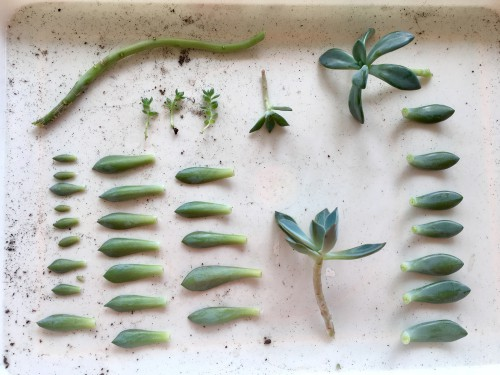 Different types of cutting ready to plant