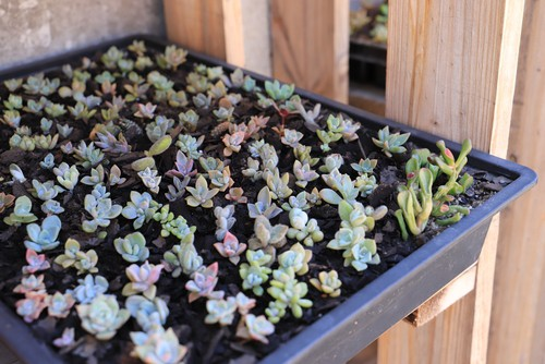 Succulents growing in seed tray ready for transplanting into new pots
