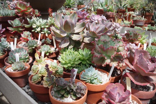 Overwintering succulents in a greenhouse