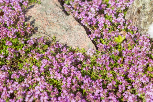 Thyme herb plant - perfect for rockeries