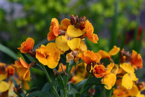 when to plant wallflowers
