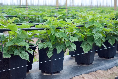when to grow raspberries in containers