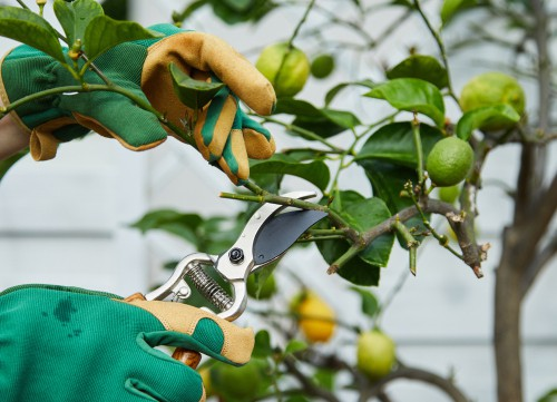 When to prune citrus trees