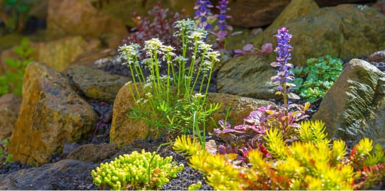 10 best alpine rockery plants that are easy to grow for planting a rockery
