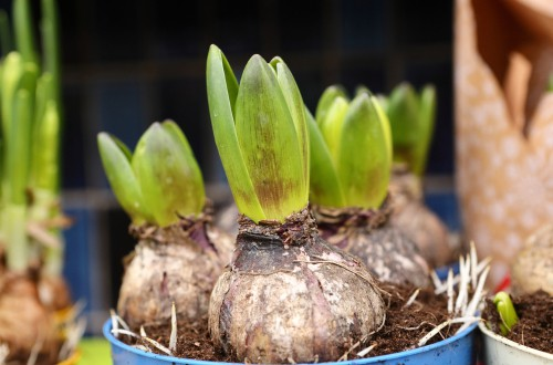 Prepared hyacinths ready to bring indoors into a cool room
