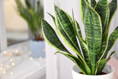 Sansevieria is a species that is incredibly unique and its appearance, and it's actually a common house plant you have probably seen many times before. It goes by the name of snake plant, mother-in-law's tongue, or bowstring hemp.