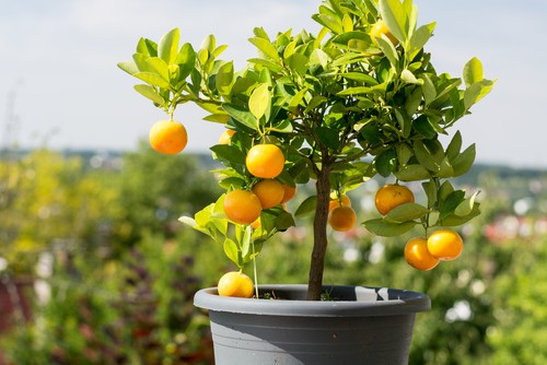 caring for orange trees