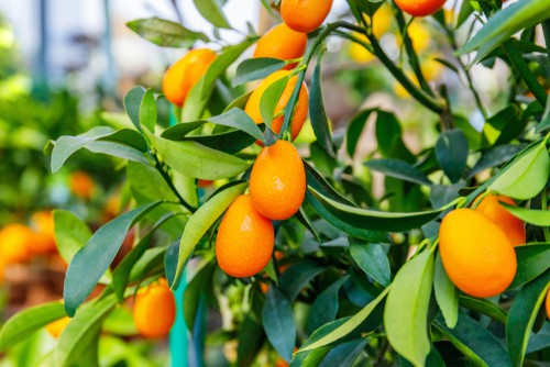 Citrus Kumquat care