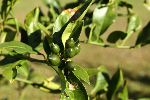 citrus leaf problems caused by cold
