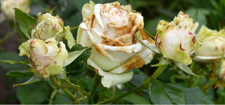 Common rose problems and diseases to look out for and possible solutions