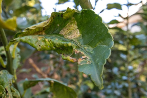 curling leaves caused by citrus leaf miners