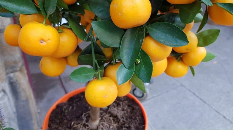 Growing orange trees in pots