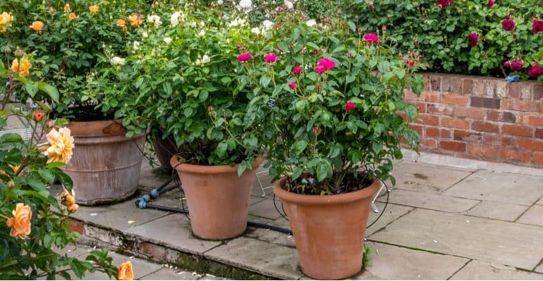 Growing roses in pots and containers – Planting and care guide
