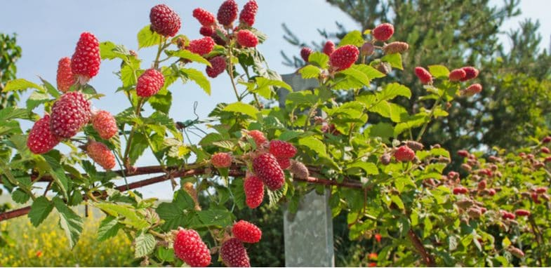How to grow Tayberries