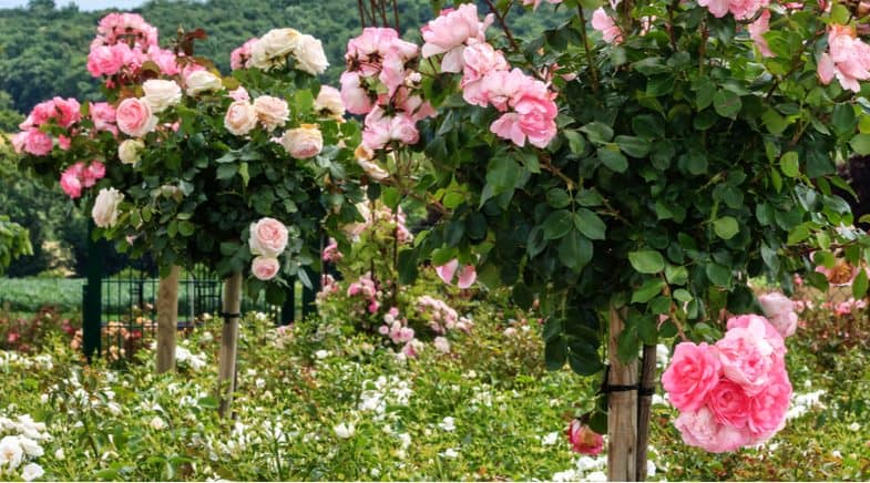How to plant a standard rose tree