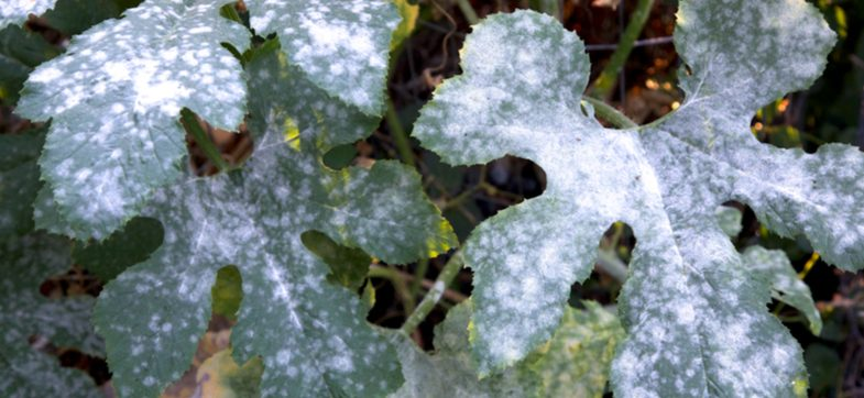 How to prevent and treat mildew on plants