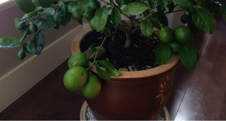 How to revive a Meyer lemon tree that isn't growing well