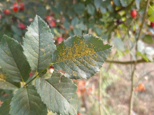 Rust fungus on rose bush leaves