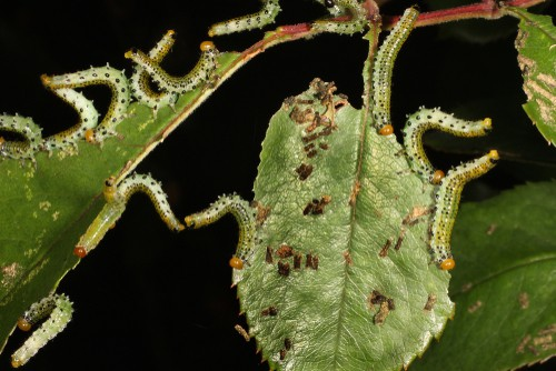 Sawfly on roses which strip leaves off stems