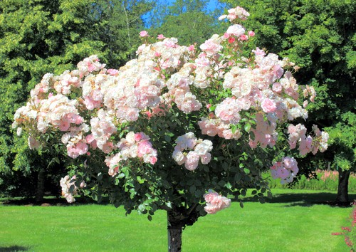Standard rose tree care