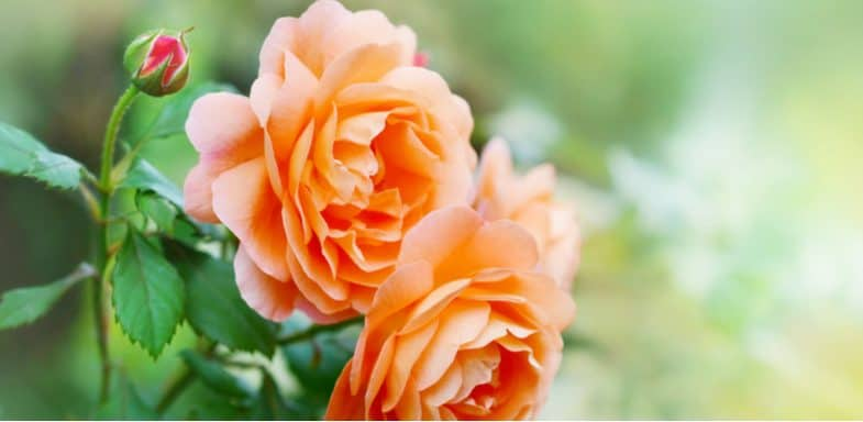8 of the best roses for pots and containers